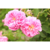 Kép 4/5 - Rose Bulgarian Absolute 5 ml - Rózsa Abszolút-Katica Online Piac
